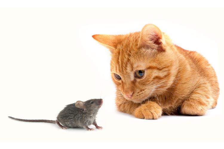 Die Katze betrachtet sich die fette Maus