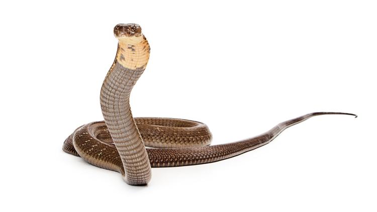 Der Kobra-Effekt als Musterbeispiel für schlechte Governance